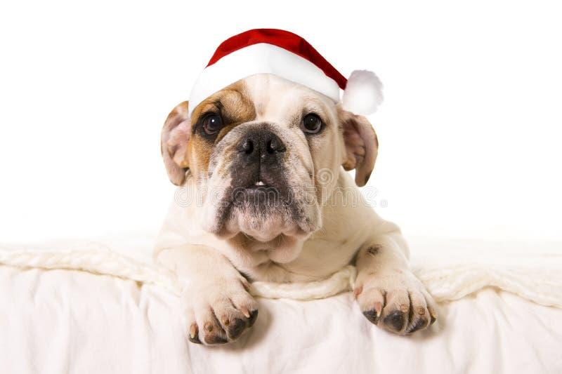 Cão pequeno novo do filhote do buldogue francês que encontra-se na cama em casa com o chapéu de Santa do Natal imagem de stock