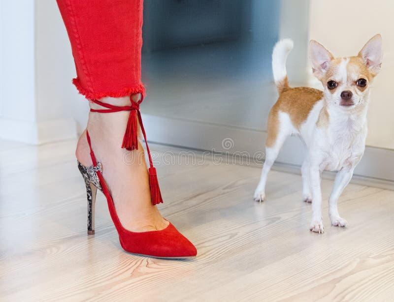 Cão pequeno que está perto do pé fêmea em calças vermelhas foto de stock
