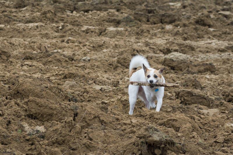 Cão pequeno que joga com uma vara em um campo instável foto de stock