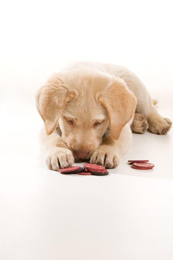 Cão pequeno que joga o póquer fotos de stock