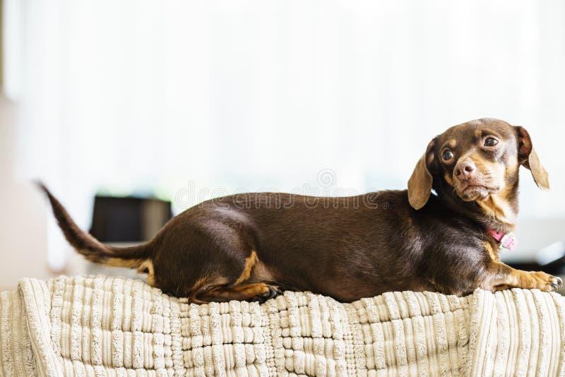 Cão pequeno que senta-se no sofá foto de stock royalty free