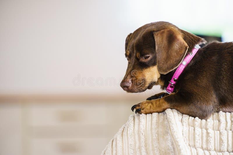 Cão pequeno que senta-se no sofá fotografia de stock royalty free