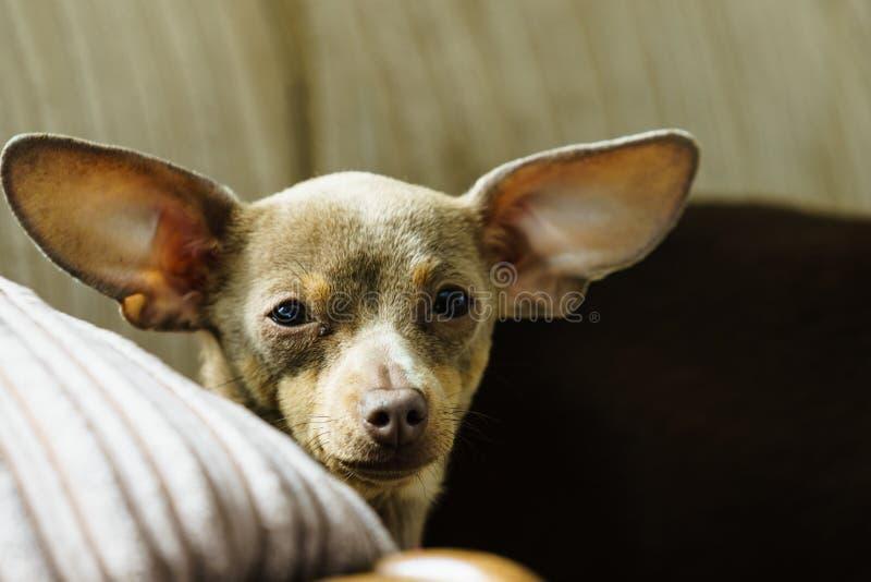 Cão pequeno que senta-se no sofá foto de stock