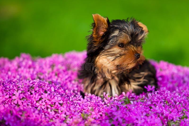 Cão pequeno - terrier de Yorkshire imagem de stock