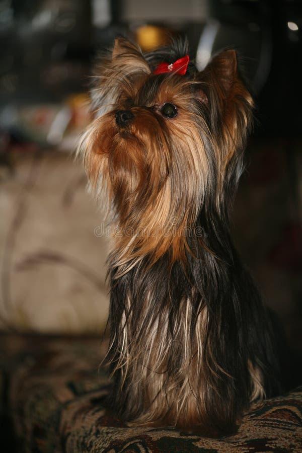 Cão pequeno Yorkshire mais terrier imagem de stock royalty free