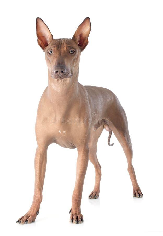 Cão peruano fotografia de stock royalty free
