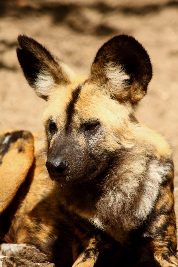 Cão (pintado) selvagem africano imagens de stock royalty free