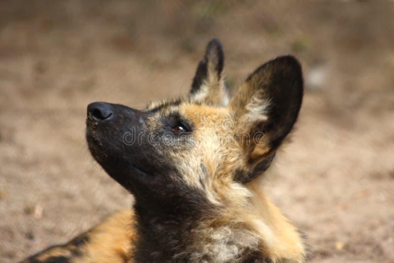 Cão (pintado) selvagem africano fotos de stock royalty free