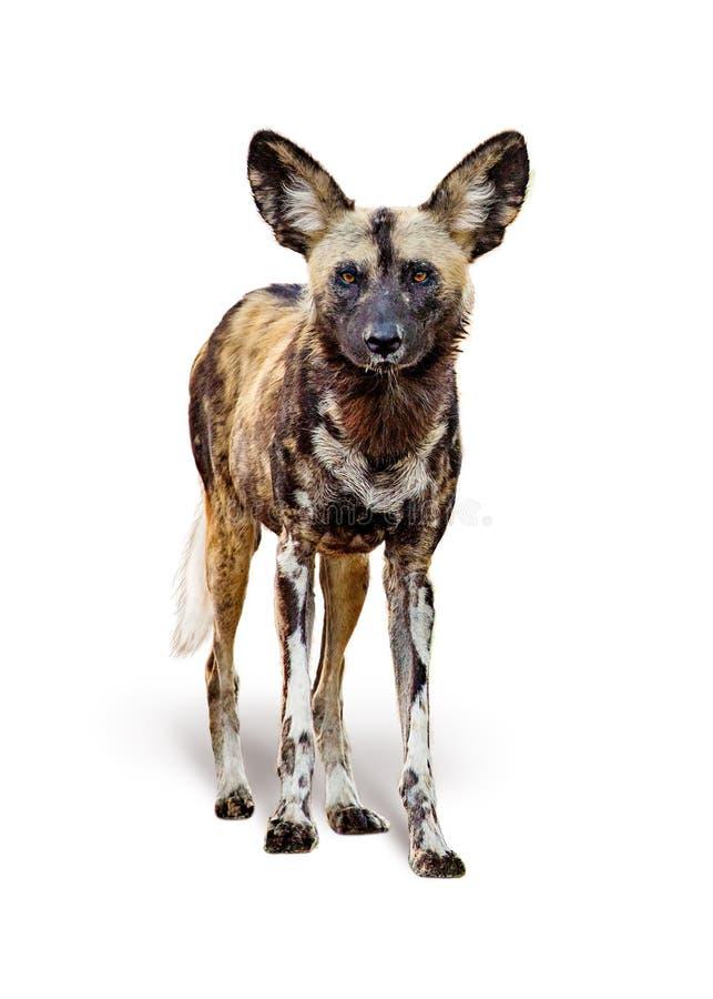 Cão pintado selvagem africano isolado no branco fotos de stock royalty free