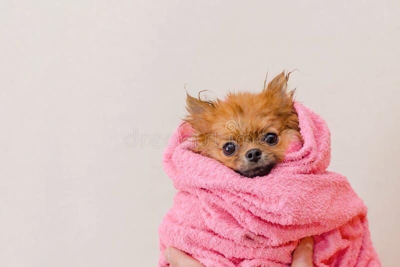 Cão pomeranian bonito em uma toalha cor-de-rosa após o banho, preparando, espaço da cópia imagens de stock