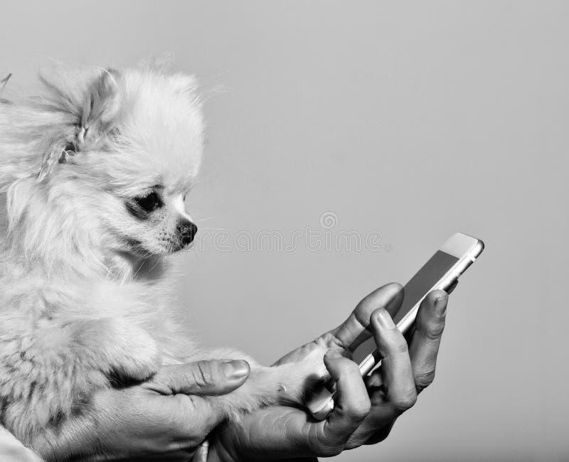 Cão pomeranian bonito usando o smartphone nas mãos fêmeas fotografia de stock