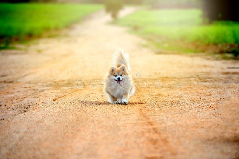 Cão pomeranian running na estrada feliz saudável novo imagem de stock