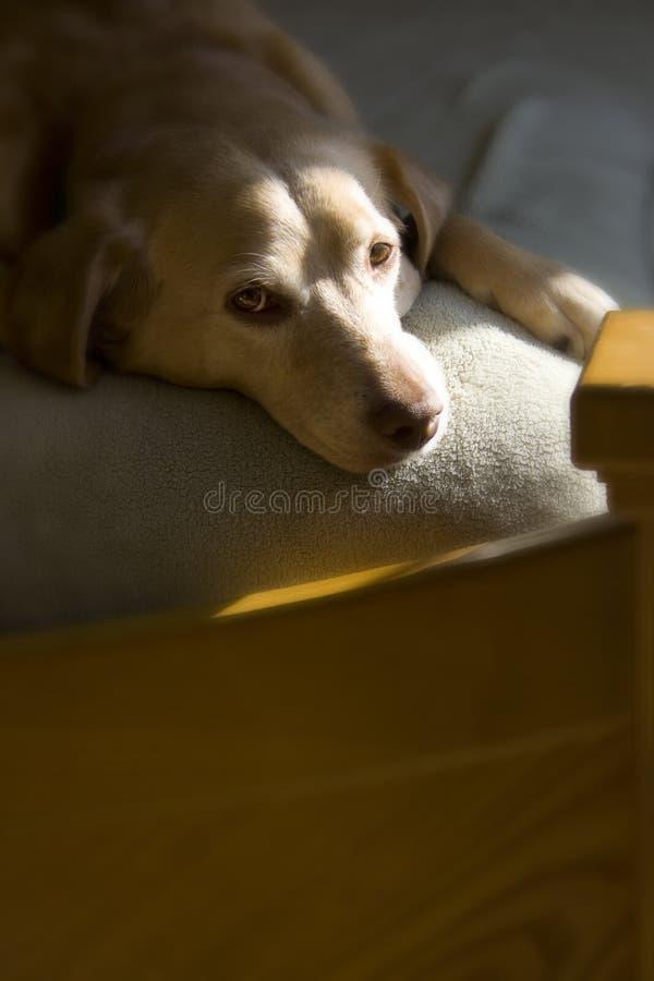 Cão preguiçoso imagens de stock