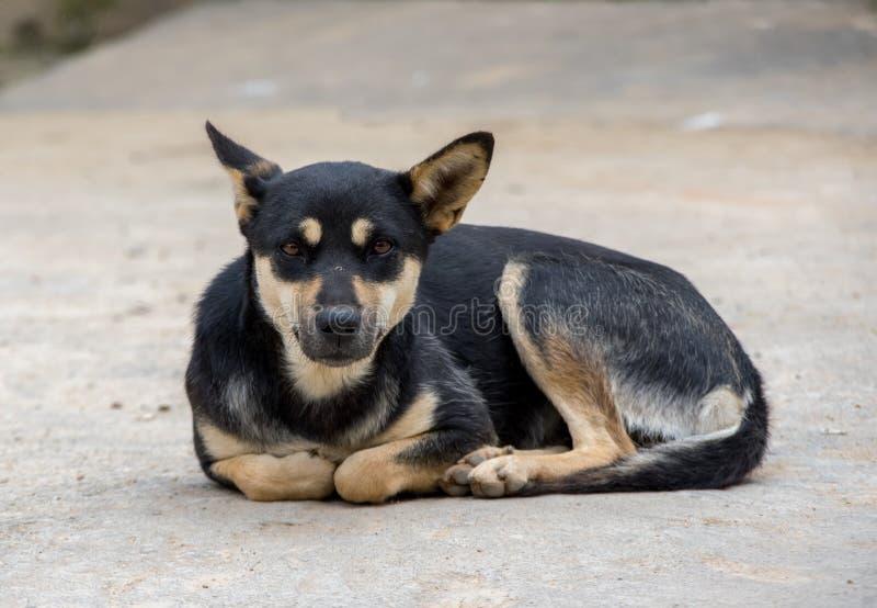 Cão preto, cão Ásia, situada no pátio fotografia de stock