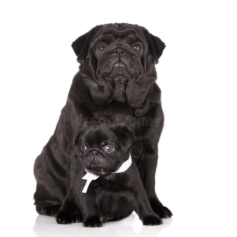 Cão preto adorável do pug com o cachorrinho que levanta no branco fotos de stock royalty free