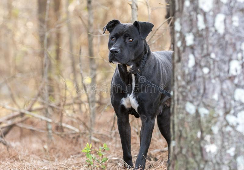 C?o preto assustado de Pitbull que esconde atr?s de um pinheiro foto de stock royalty free
