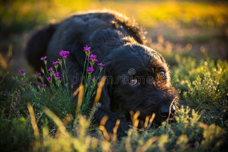 Cão preto bonito da vira-lata no prado da mola fotos de stock