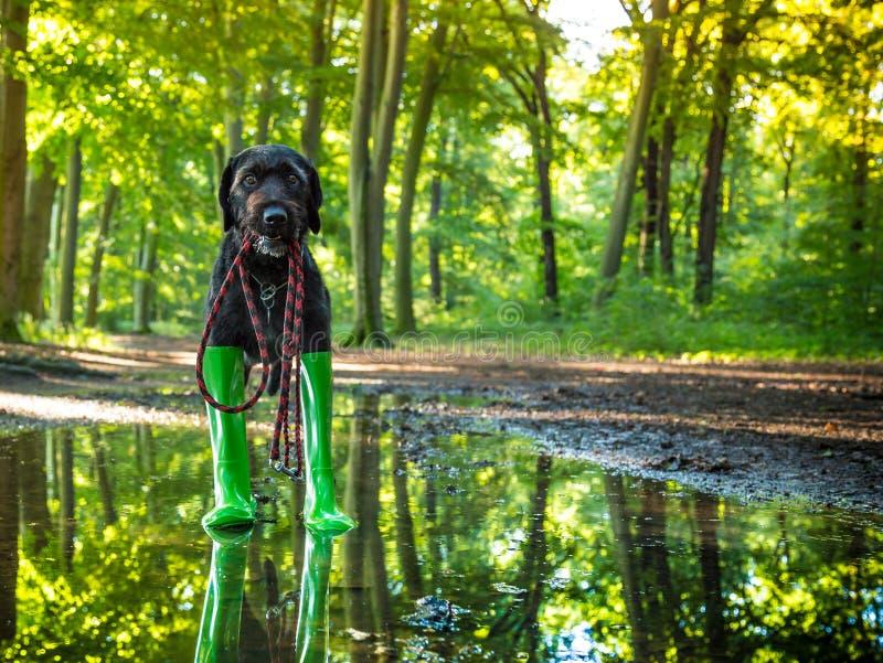 Cão preto da vira-lata em botas de chuva foto de stock