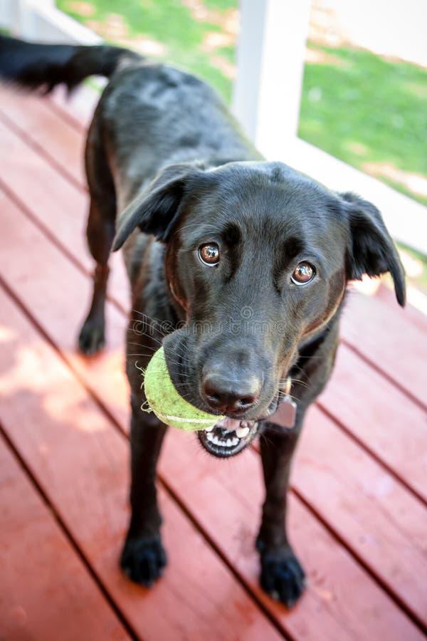Cão preto de labrador retriever com a bola que quer a fotos de stock royalty free