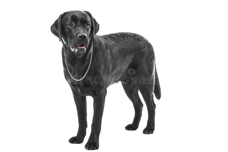 Cão preto de labrador retriever que encontra-se no branco isolado fotografia de stock