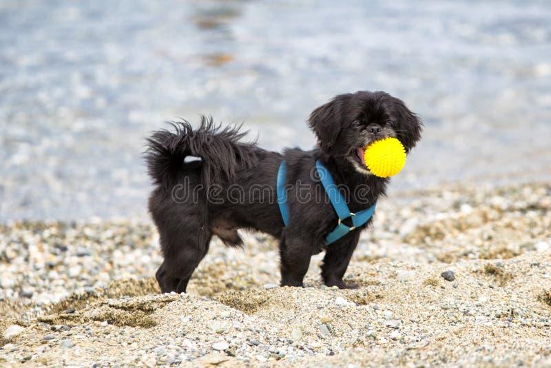 Cão preto do pequinês na praia foto de stock royalty free