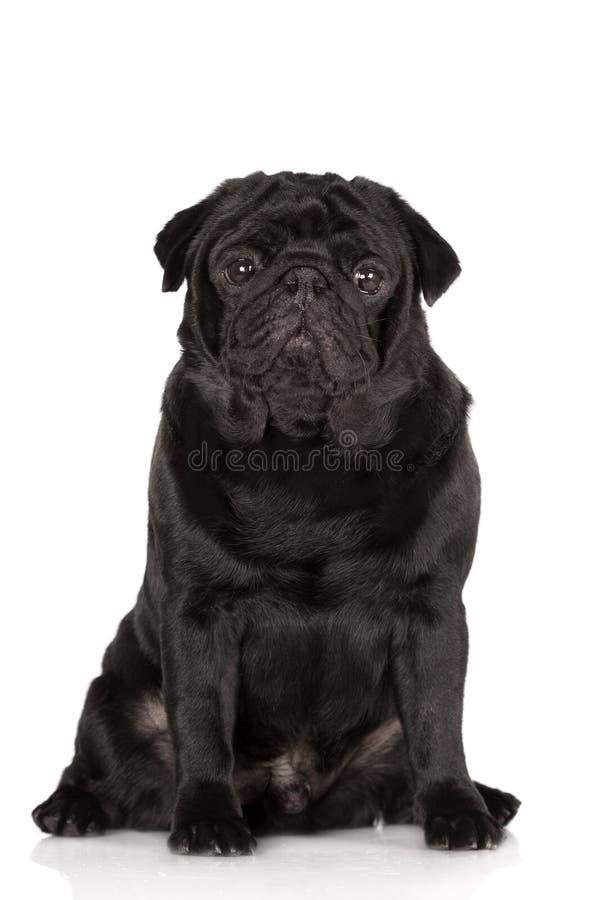Cão preto do pug que senta-se no fundo branco imagem de stock royalty free