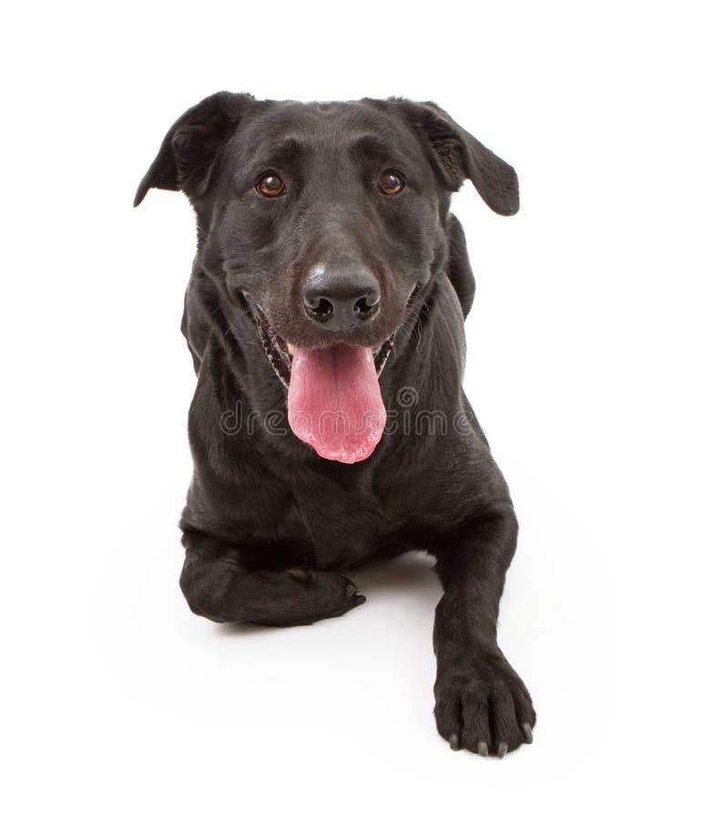 Cão preto do Retriever de Labrador isolado no branco foto de stock