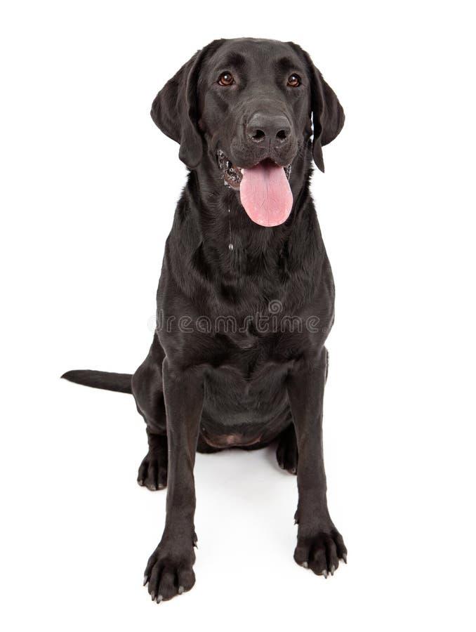 Cão preto do Retriever de Labrador que Drooling imagens de stock