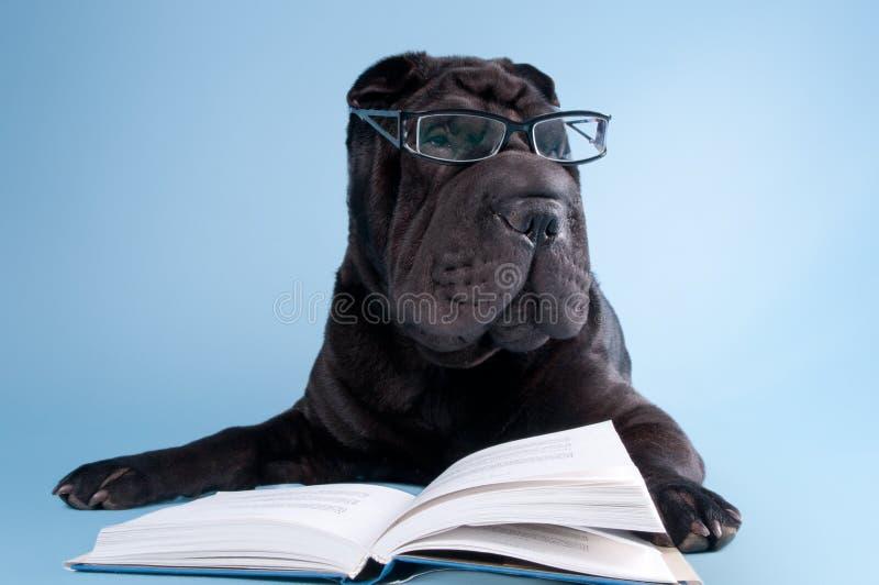 Cão preto do shar-pei com o livro de leitura dos vidros fotografia de stock