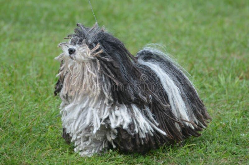 Cão preto e branco bonito de Puli imagem de stock