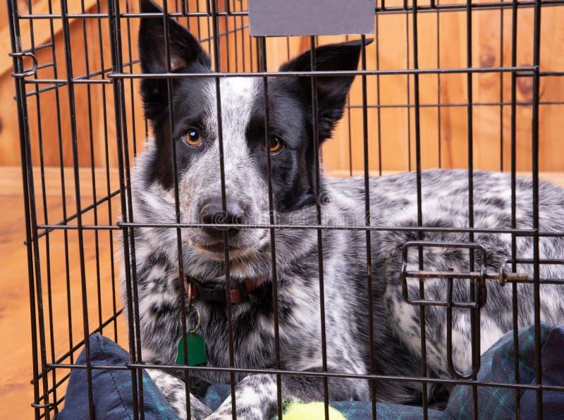 Cão preto e branco bonito que descansa em uma caixa fechado foto de stock