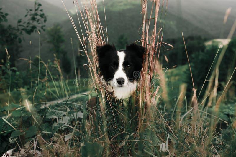 Cão preto e branco feliz do retrato e sorrindo bonito border collie no campo e no olhar in camera No fundo fotografia de stock royalty free