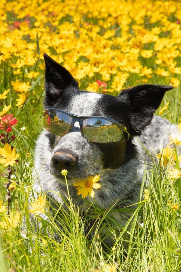 Cão preto e branco feliz que encontra-se em um prado florido na luz do sol da mola foto de stock