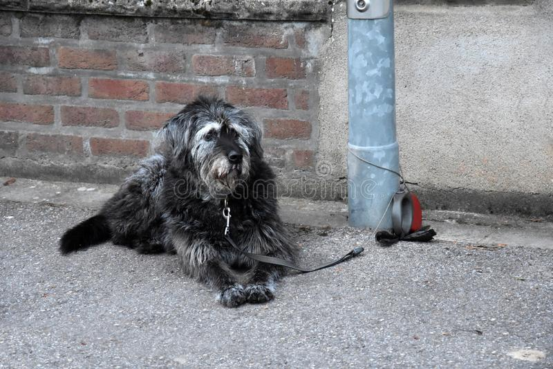Cão preto e branco grande, amarrado a um cargo da lâmpada, esperas para seus próprios foto de stock royalty free