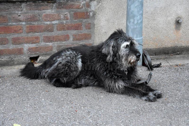 Cão preto e branco grande, amarrado a um cargo da lâmpada, esperas para seus próprios fotos de stock royalty free