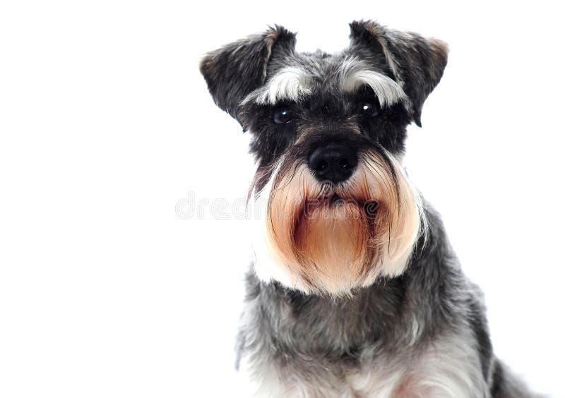 Cão preto e branco pequeno do schnauzer diminuto fotografia de stock royalty free