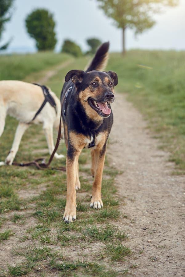 Cão preto e bronzeado feliz que está de ânsia em uma estrada de exploração agrícola rural imagem de stock