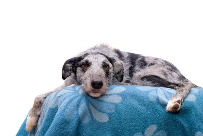 Cão preto e cinzento do Lurcher foto de stock royalty free