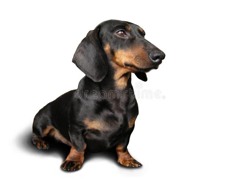 Cão preto e marrom (dachshund) sobre fotografia de stock