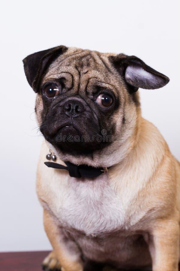 Cão preto e marrom do pug imagens de stock