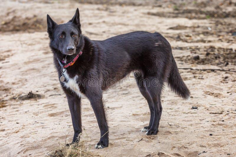 Cão preto em um Sandy Beach Close-up imagem de stock