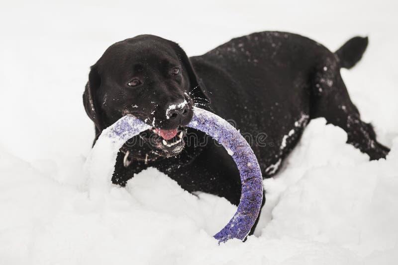 Cão preto engraçado bonito de Labrador fotografia de stock