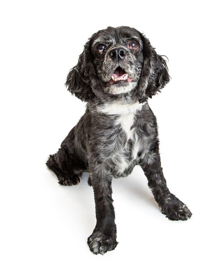 Cão preto feliz de cocker spaniel no branco imagens de stock royalty free