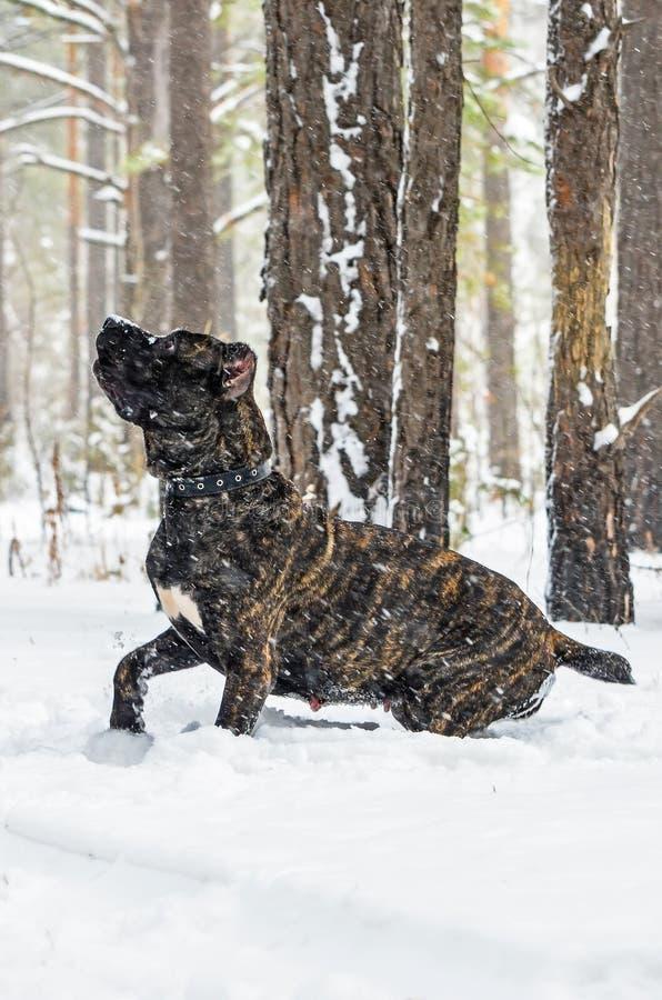 Cão preto grande Cane Corso na caminhada do inverno na neve na floresta fotos de stock