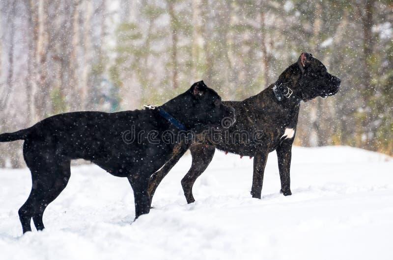 Cão preto grande Cane Corso na caminhada do inverno na neve na floresta imagem de stock