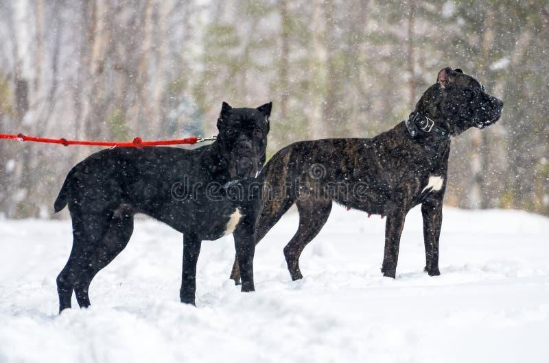 Cão preto grande Cane Corso na caminhada do inverno na neve na floresta fotografia de stock royalty free