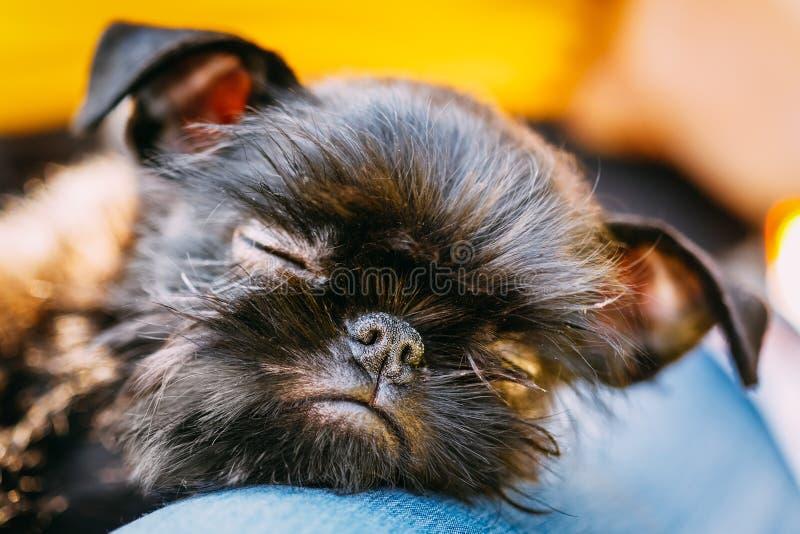 Cão preto Griffon Bruxellois (Bruxelas, Belge) imagens de stock royalty free