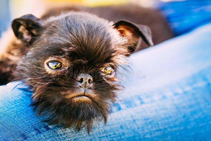 Cão preto Griffon Bruxellois (Bruxelas, Belge) imagens de stock