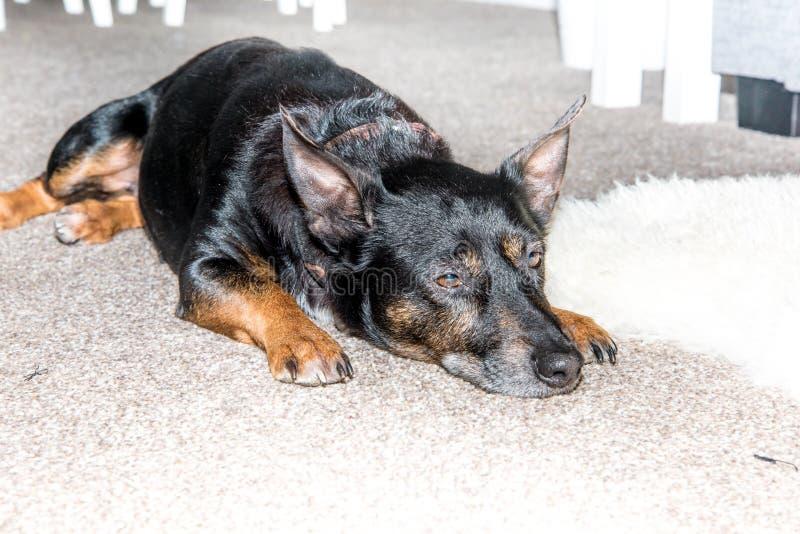 Cão preto - híbrido misturado velho do cão do salvamento da raça que dorme na sala de visitas no tapete cinzento - animal de esti imagens de stock royalty free