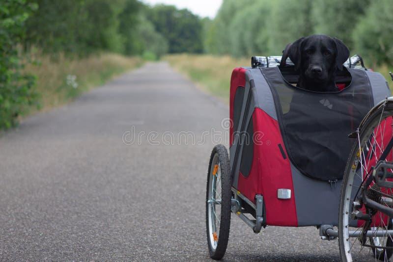 Cão preto Labrador que biking em um passeio canino em um dia do quiete imagens de stock royalty free